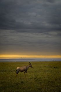 Topi at Sunrise by Russell Bevan Photography