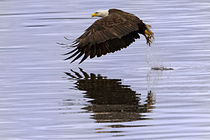 Bald Eagle Strikes the Water by Ed Book