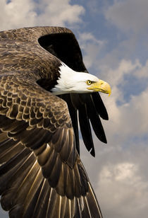 Bald Eagle Flies by at close range von Ed Book
