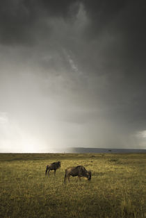 Wildebeest Beneath a Stormy Sky by Russell Bevan Photography