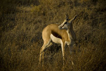 Young Springbok in Etosha by Russell Bevan Photography