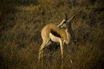 Young Springbok in Etosha von Russell Bevan Photography