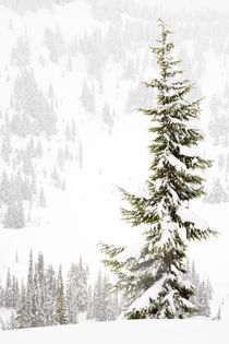 Tall Subalpine Fir in winter at Paradise Meadows on Mt Rainier by Ed Book