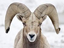 Bighorn Sheep Ram by Ed Book