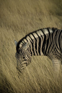 Common Zebra in Etosha by Russell Bevan Photography