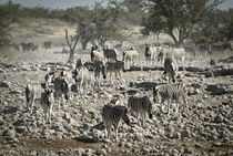 Dazzle of Zebra in Etosha von Russell Bevan Photography