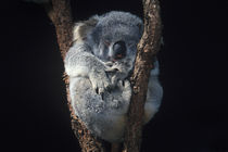 koala by George S Blonsky