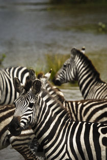 Common Zebra Crossing River by Russell Bevan Photography