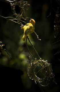 Taveta Golden Weaver Bird von Russell Bevan Photography