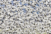 Snowgeese Flock Flying by Ed Book