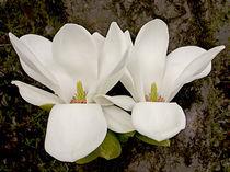 Magnolia Blossoms von Ed Book