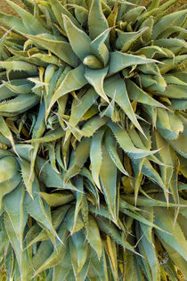 Agave Century Plant by Ed Book