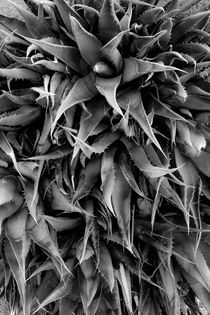 Agave Century Plant Monochrome by Ed Book
