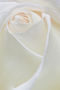 white Peace Rose von Ed Book