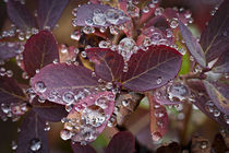 autumn huckleberry leaves with beaded rain drips by Ed Book