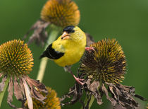 American Goldfinch by Paul Lemke