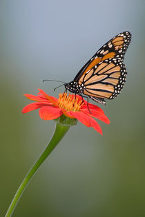Monarch Butterfly And Flower by Paul Lemke