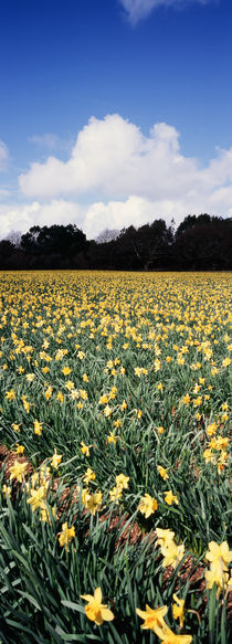 Daffodils by Mike Greenslade