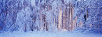 Winterwald by Intensivelight Panorama-Edition