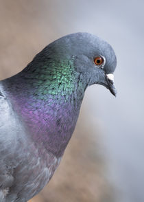 Pigeon by Stelios Michael