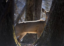 Whitetail deer  by Douglas Graham