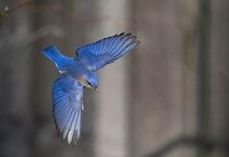 Eastern Bluebird :: Sialia sialis by Douglas Graham