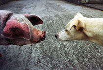 Pig and dog by Xulio Villarino