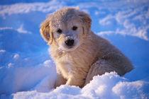 Retriever-puppy1af