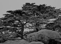 Point-lobos016-version-2