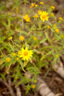 Pretty yellow flowers - Northstar-at-Tahoe, California by Jess Gibbs