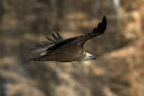 Griffon Vulture soaring 1 von Simon Littlejohn