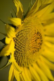 Sunflower Head 1 by Simon Littlejohn