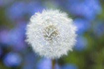 Dandelion by Pete Saloutos