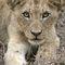 Hlane-lion-cub-1912