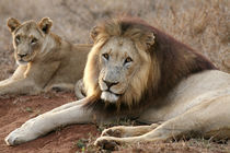 Lions by Mike Greenslade