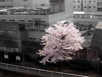 TokyoKirschbluete von Erik Mugira