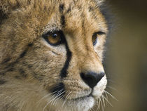Cheetah youngster with golden eyes facial close-up. by Yolande  van Niekerk