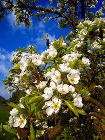 Birnenblüte von Erik Mugira