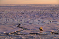 POLAR BEAR WALKING ON SEA ICE by Wolfgang Kaehler