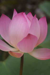 LOTUS FLOWER WITH WATER DROPS by Wolfgang Kaehler