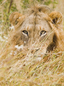 Lion in grass  facing  forward von Yolande  van Niekerk