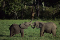 BABY ELEPHANTS AT PLAY by Wolfgang Kaehler