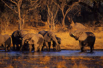 Elephant Herd Drinking by Wolfgang Kaehler