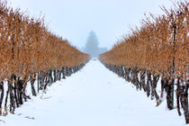 Niagara on the Lake Winter Vineyard by Ian C Whitworth