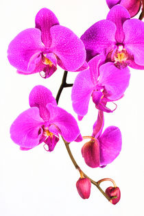 Orchid Beauty von Ian C Whitworth