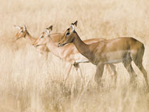 Impala females in golden grass von Yolande  van Niekerk