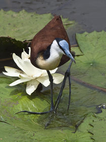 African Jacana next to water lilly by Yolande  van Niekerk