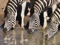 Zebras drinking close-up in repetition by Yolande  van Niekerk
