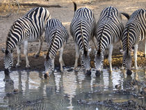 Zebras drinking together by Yolande  van Niekerk