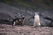 Chinstrap Penguin with Chicks by Wolfgang Kaehler